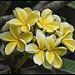 Yellowish Frangipani_01=